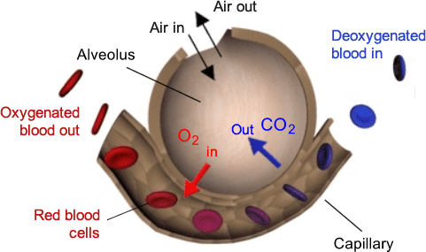 Science resources lung diffusion alveoli diagram ccuart Image collections
