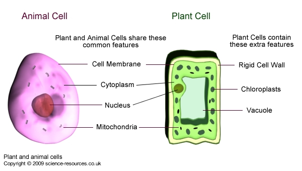 plant cell and animal cell pictures. Animal and Plant cells