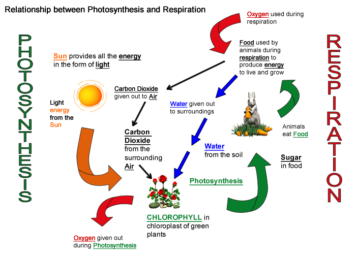 photosynthesis and respiration You can gauge your level of understanding about cellular respiration and photosynthesis with the worksheet and quiz these assessments are.