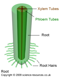 Xylem and phloem diagram and photosynthesis circuit connection science resources co uk transport system in plants rh science resources co uk xylem and phloem in a leaf xylem and phloem in a leaf ccuart Image collections